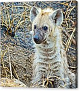 Spotted Hyena Pup In Kruger National Park-south Africa  Acrylic Print