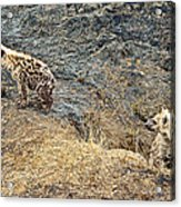 Spotted Hyena Pups In Kruger National Park-south Africa Acrylic Print