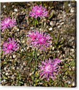 Spotted Knapweed Acrylic Print