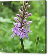 Spotted-orchids Acrylic Print