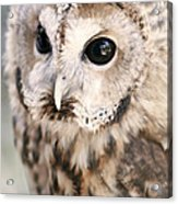 Spotted Owl Acrylic Print