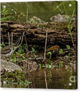 Spotted Sandpiper 2 Acrylic Print