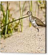 Spotted Sandpiper Pictures 45 Acrylic Print