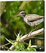 Spotted Sandpiper Pictures 48 Acrylic Print