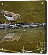 Spotted Sandpiper Pictures 61 Acrylic Print