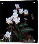 Spotted Wintergreen 5 Acrylic Print