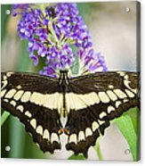 Spread Your Wings My Little Butterfly  Acrylic Print