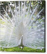 Spreading Peacock Display Acrylic Print