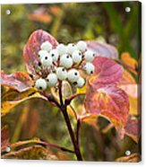 Sprig Of Pearls Acrylic Print