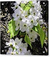 Spring Apple Blossoms Acrylic Print