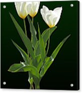 Spring - Backlit White Tulips Acrylic Print