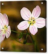 Spring Beauty Acrylic Print by Thomas Pettengill