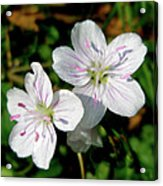 Spring Beauty Wildflowers - Claytonia Virginica Acrylic Print