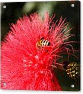 Spring Bee Sweet As Honey Acrylic Print