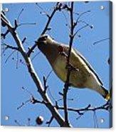 Spring Bird And Berries Acrylic Print