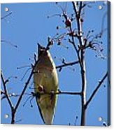 Spring Bird Singing Acrylic Print