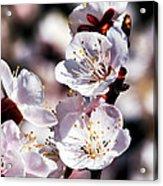 Spring Bloom 3 Acrylic Print