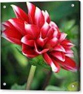 Spring Bloom Acrylic Print
