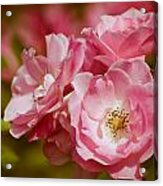 Spring Roses Acrylic Print