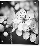Spring Blooms 6690 Acrylic Print