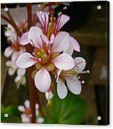 Spring Blooms Of 2013 D Acrylic Print