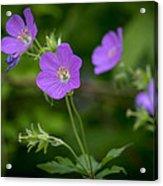Spring Blooms Acrylic Print