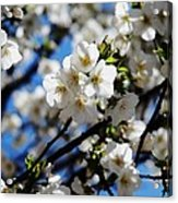 Spring Blossoms, Baltimore Acrylic Print