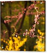 Spring Blossoms I Acrylic Print