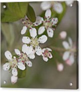 Spring Blossoms Acrylic Print