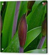 Spring Buds Amaryllis Acrylic Print