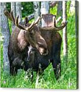 Spring Bull Moose Acrylic Print