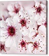 Spring Cherry Blossom Acrylic Print
