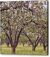 Spring Cherry Blossoms Acrylic Print