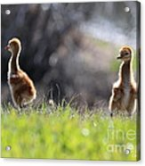 Spring Chicks In The Sunshine Acrylic Print