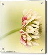 Spring Clover Blossom Acrylic Print