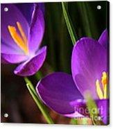 Spring Crocus Pair  Acrylic Print