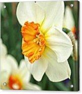 Spring Daffodil Acrylic Print by Cathie Tyler