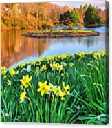 Spring Daffodils At Laurel Ridge-connecticut  Acrylic Print