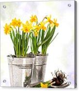 Spring Daffodils Acrylic Print by Amanda Elwell