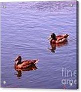 Spring Ducks Acrylic Print