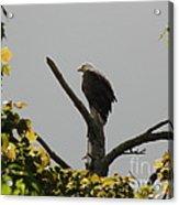 Spring Eagle I Acrylic Print