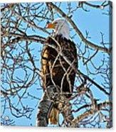 Spring Eagle Acrylic Print