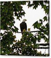 Spring Eagle Vi Acrylic Print