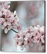 Spring Flowering Tree In Spring Acrylic Print