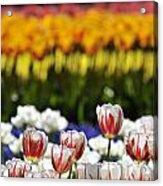Spring Flowers 11 Acrylic Print