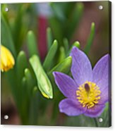 Spring Flowers. Flowers Of Holland Acrylic Print