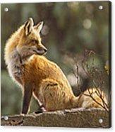 Spring Fox Acrylic Print