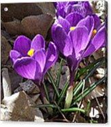 Spring Glory Acrylic Print