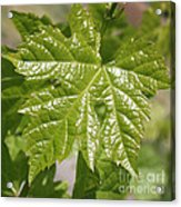 Spring Grape Leaf Acrylic Print