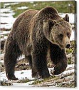 Spring Grizzly Bear Acrylic Print